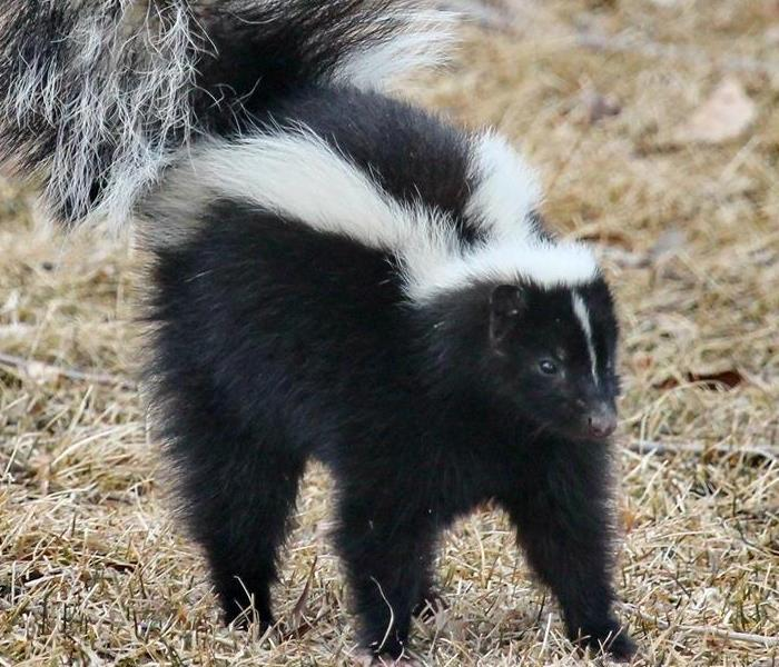 Cleaning Skunk Deodorization: Removing Skunk Funk From Your Nashville Home